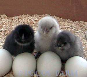 Picture of Chicks with eggs